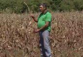 Produtor Jocelen Alves mostrou, no fim de setembro, estragos que as variações climáticas provocaram em sua lavoura de milho (Foto: Reprodução/TV Morena)