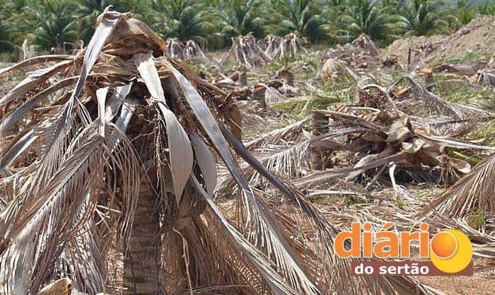 Resultado de imagem para Plantações de coco seca